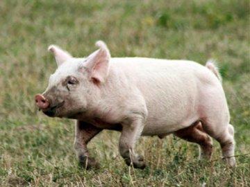 Россельхознадзор оштрафовал фермера за неправильное содержание свиней