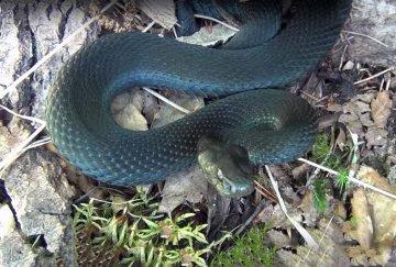Токсикологи ОКБ №1 заявляют об активизации змей после прошедших дождей